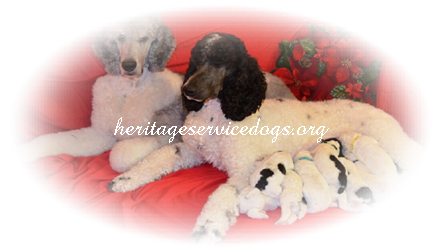 Image of: Hawaii Service Dogs Standard Poodle Puppies For Sale Standard Parti Poodle Puppies For Sale Royal Standard Poodles Large Standards Service Dog Training Program We Love Pets Training Rules And Regulations